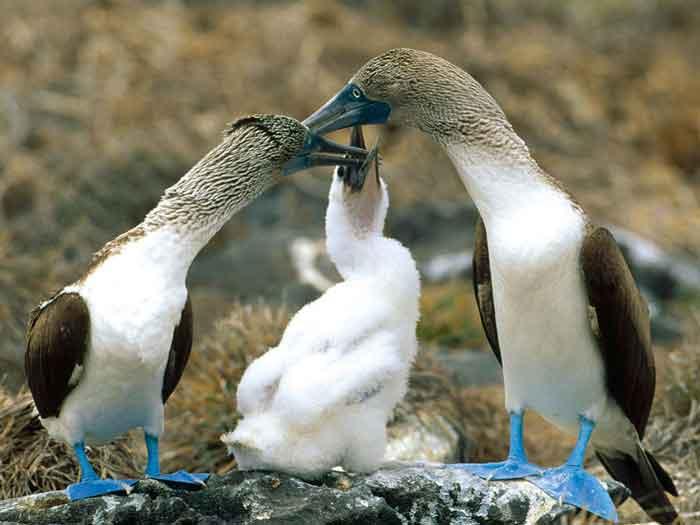 sumsuk-kuslari-7 İsimleri Kadar Kendileri de Komik Olan Mavi Ayaklı Sümsük Kuşları