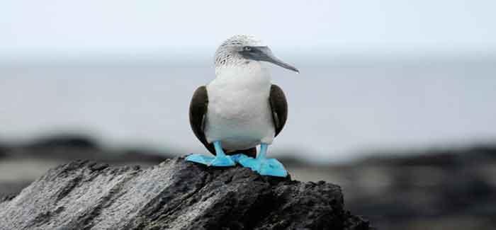 sumsuk-kuslari-8 İsimleri Kadar Kendileri de Komik Olan Mavi Ayaklı Sümsük Kuşları