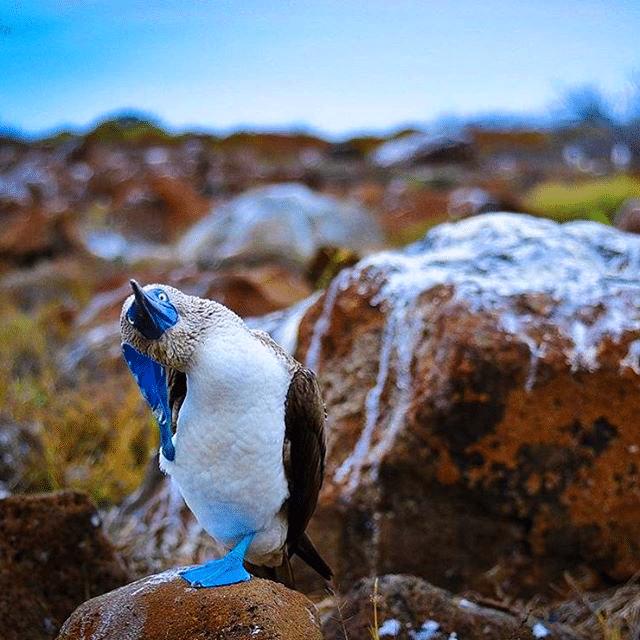 bir-sumsuk-kusu-karakteristik-mavi-ayaklari-ile-ufak-bir-dans-gosterisi İsimleri Kadar Kendileri de Komik Olan Mavi Ayaklı Sümsük Kuşları