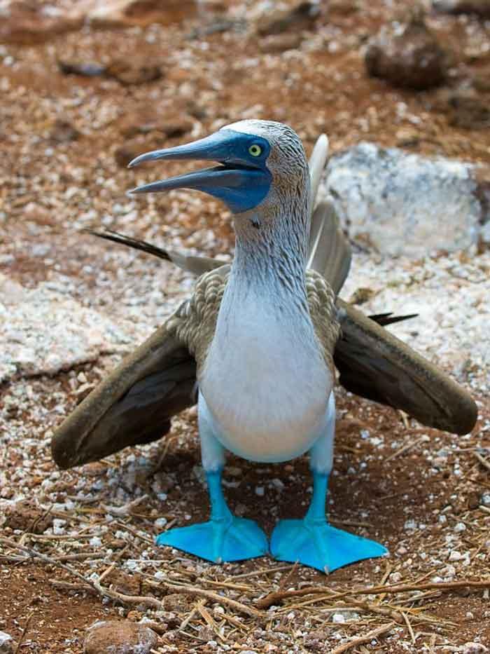 sumsuk-kuslari-2 İsimleri Kadar Kendileri de Komik Olan Mavi Ayaklı Sümsük Kuşları