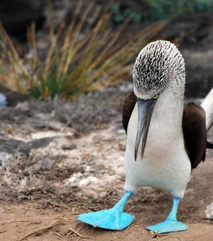 sumsuk-kuslari-5 İsimleri Kadar Kendileri de Komik Olan Mavi Ayaklı Sümsük Kuşları